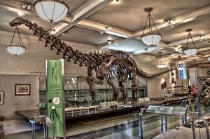 Apatosaurus holds court on the Fourth Floor of AMNH. Source: Scott Robert Anselmo