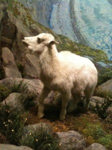 "No more ""demon"" eye in the baby Mountain Goat, who is surrounded by thousands of flowers refurbished by AMNH volunteers"