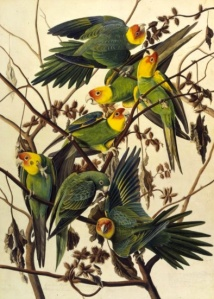 JJ Audubon painted them before they went extinct: Carolina Parakeet: Study for Havell, pl. 26, (c. 1825). Source: NYHS