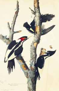 JJ Audubon's Ivory-billed Woodpecker: Study for Havell, pl. 66 (c. 1825–26) Source: NYHS