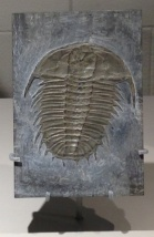 Olenoides of British Columbia's Burgess Shale (Cambrian 450-490 mya) has curve-back spines