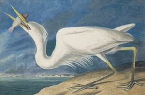 A second Great Blue Heron (1834), thought to be another species at the time, with the skyline of Key West, Florida. Courtesy NYHS and Mrs. Audubon