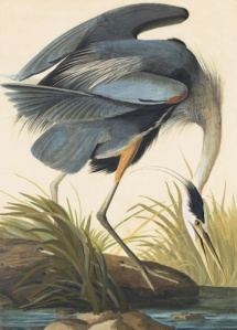 Audubon's Great Blue Heron (Ardea herodias), Study for Havell pl. 281 (1832). Watercolor, graphite, and pastel on paper, laid on thin board. Courtesy NYHS and Mrs. Audubon