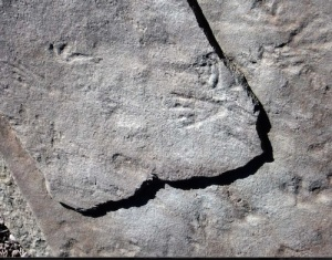 Pterosaur tracks in the Wyoming sandstone. Crooked forelimb print (L), hindfoot print (R). Taken on a 2006 trackway field trip with the Tate Museum.