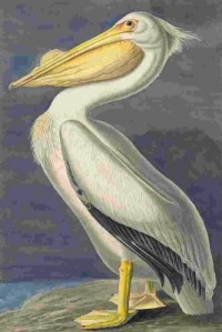 American White Pelican (Pelecanus erythrorhynchos), Havell plate no. 311