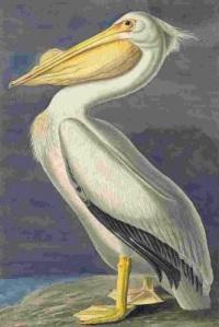 American White Pelican (Pelecanus erythrorhynchos), Havell plate no. 311