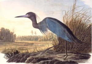 Little Blue Heron (Egretta caerulea), Havell plate no. 307, 1832