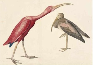 Scarlet Ibis (Eudocimus ruber), Havell plate no. 397, 1837