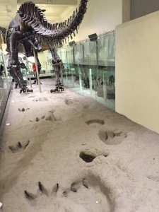 Apatosaurus atop Paluxy trackway in New York at AMNH