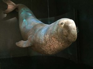 A deep-sea diving champion -- the Southern elephant seal can hold its breath for 2 hours and dive to 5,000 feet