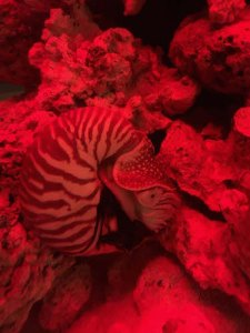 Live Chambered nautilis demonstrates jet propulsion